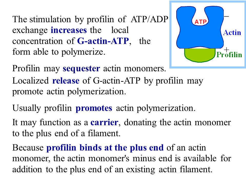 - + The stimulation by profilin of ATP/ADP exchange increases the local concentration of G-actin-ATP, the form able to polymerize.