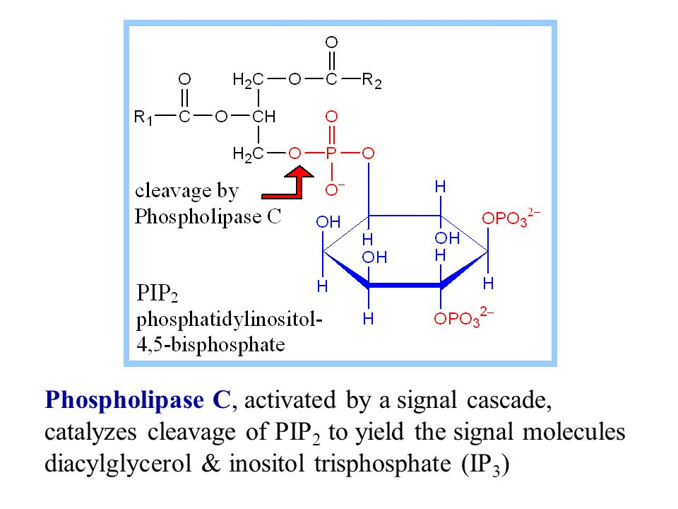Phospholipase C, activated by a signal cascade, catalyzes cleavage of PIP2 to yield the signal molecules diacylglycerol & inositol trisphosphate (IP3)