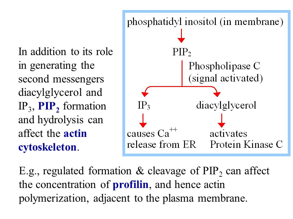 In addition to its role in generating the second messengers diacylglycerol and IP3, PIP2 formation and hydrolysis can affect the actin cytoskeleton.