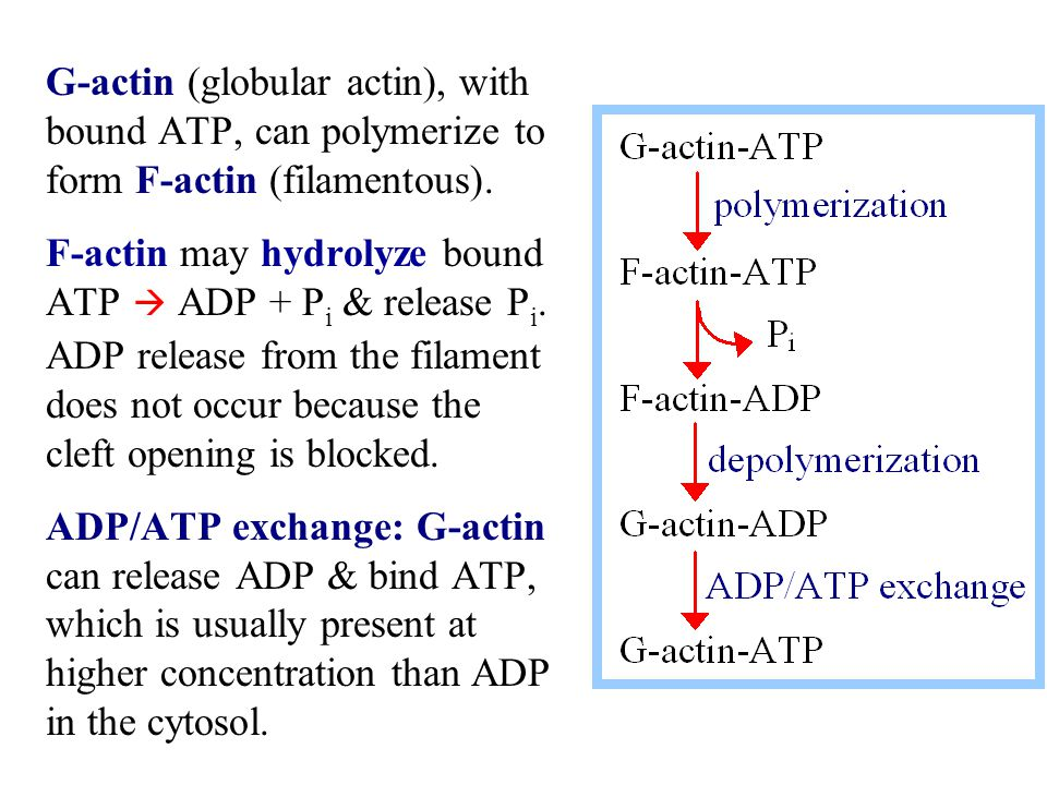 G-actin (globular actin), with bound ATP, can polymerize to form F-actin (filamentous).