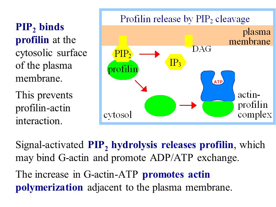 PIP2 binds profilin at the cytosolic surface of the plasma membrane.