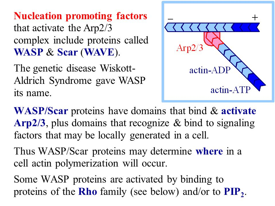 Nucleation promoting factors that activate the Arp2/3 complex include proteins called WASP & Scar (WAVE).