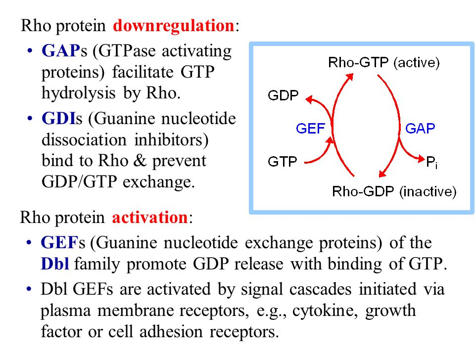 Rho protein downregulation: