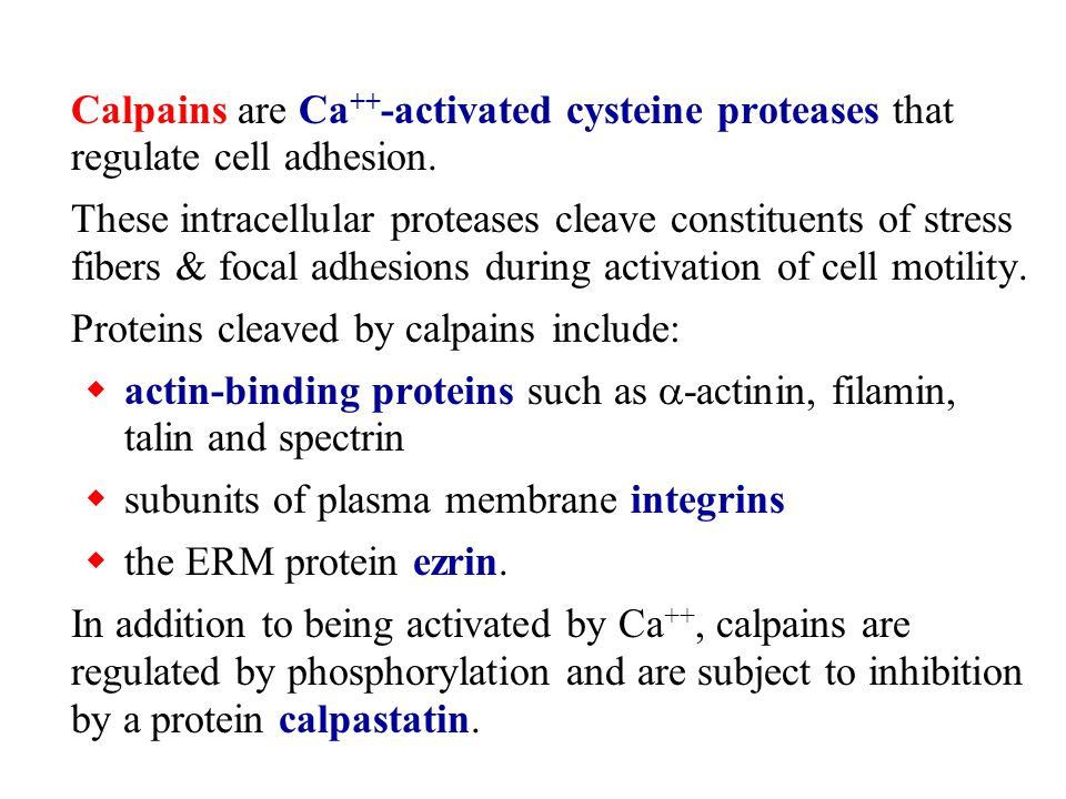 Calpains are Ca++-activated cysteine proteases that regulate cell adhesion.