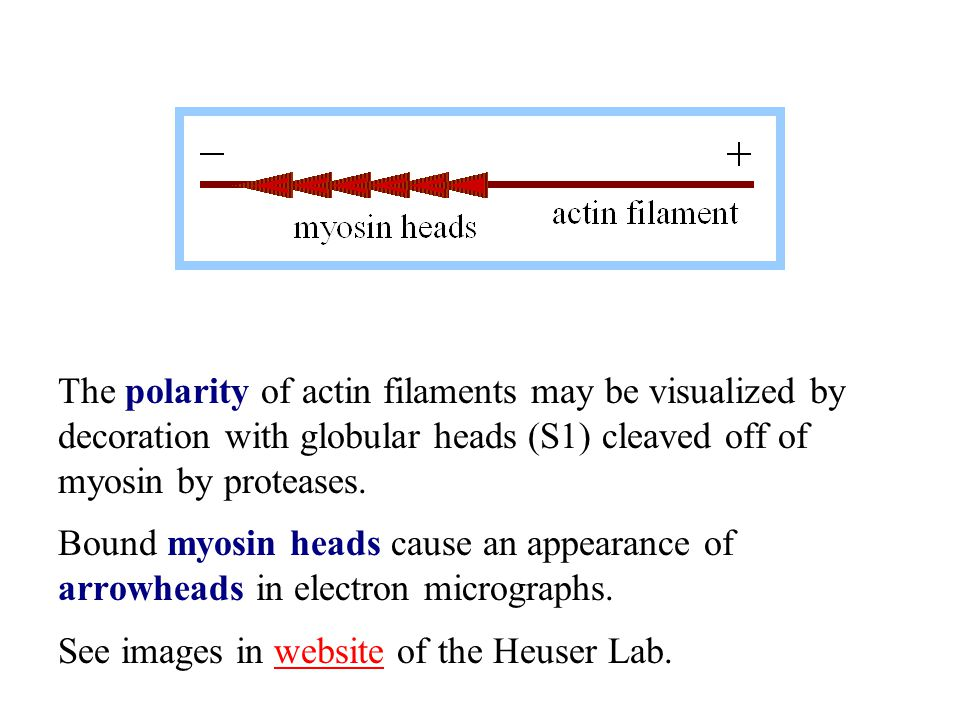 The polarity of actin filaments may be visualized by decoration with globular heads (S1) cleaved off of myosin by proteases.