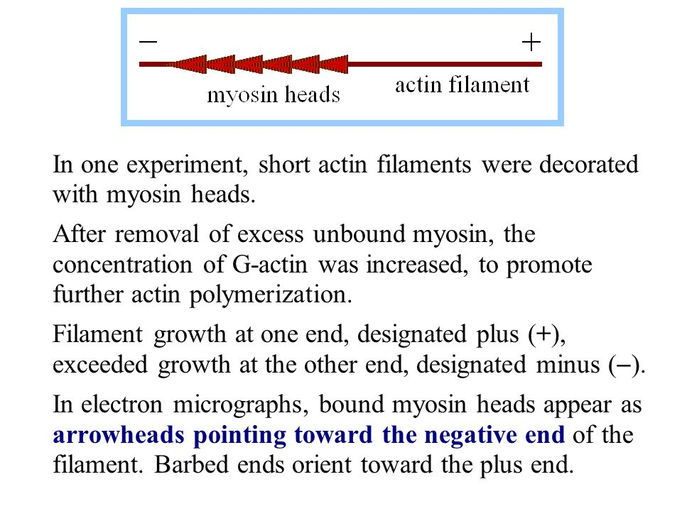 In one experiment, short actin filaments were decorated with myosin heads.