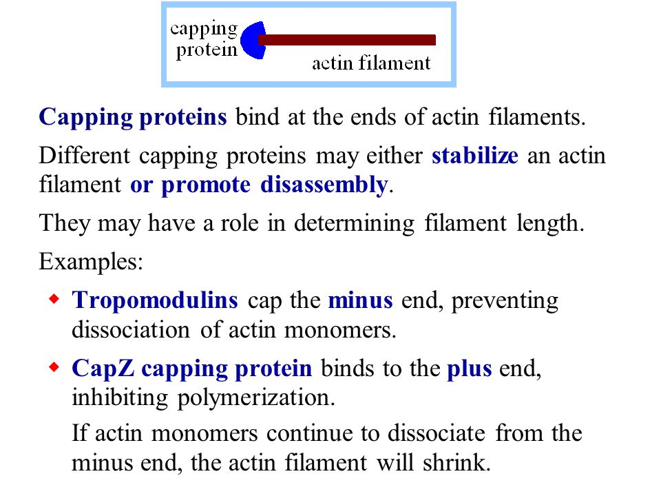 Capping proteins bind at the ends of actin filaments.