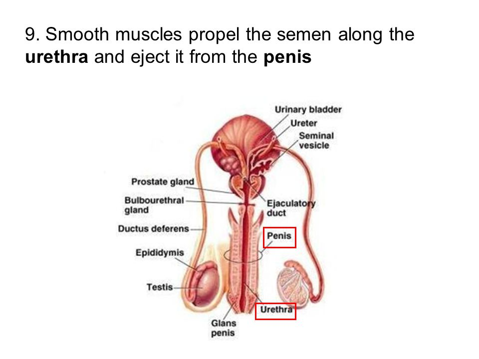 9. Smooth muscles propel the semen along the urethra and eject it from the penis