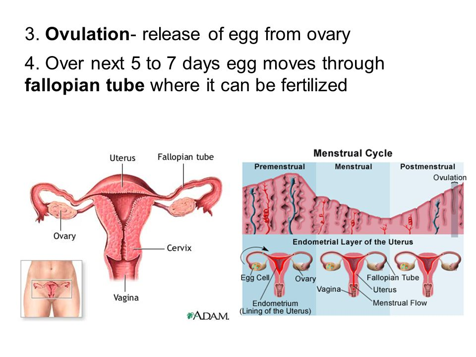 3. Ovulation- release of egg from ovary