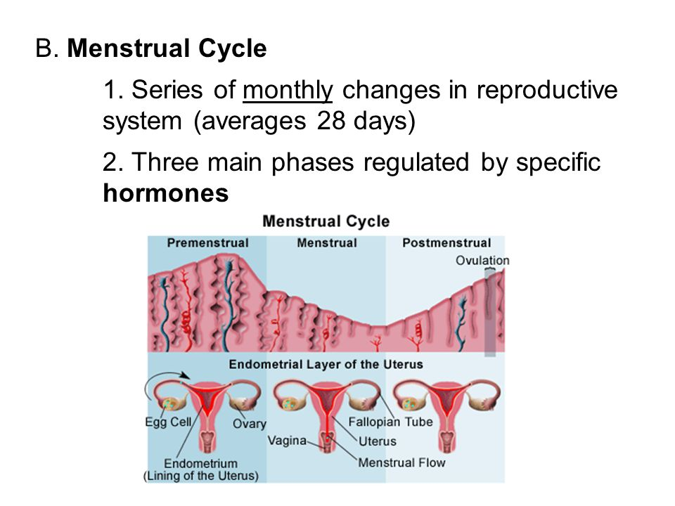B. Menstrual Cycle 1. Series of monthly changes in reproductive system (averages 28 days) 2. Three main phases regulated by specific hormones.