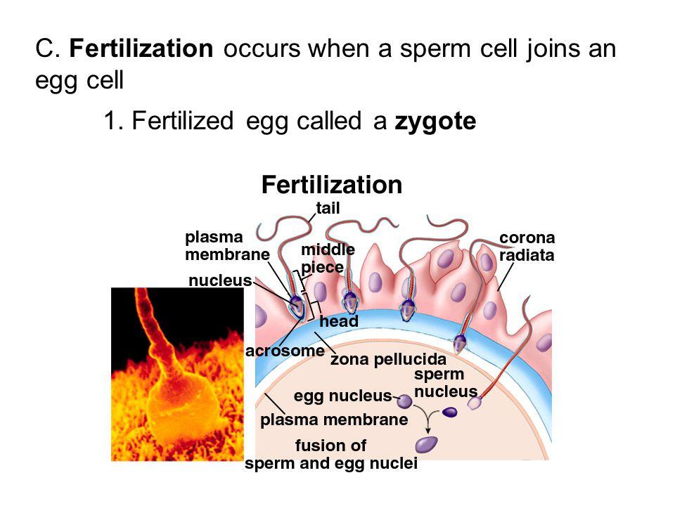 C. Fertilization occurs when a sperm cell joins an egg cell