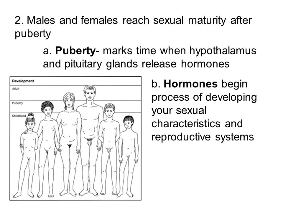 2. Males and females reach sexual maturity after puberty