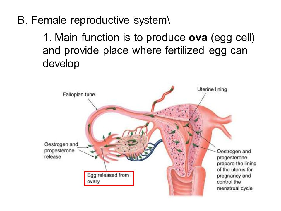reproduction reproductive system and sex cells
