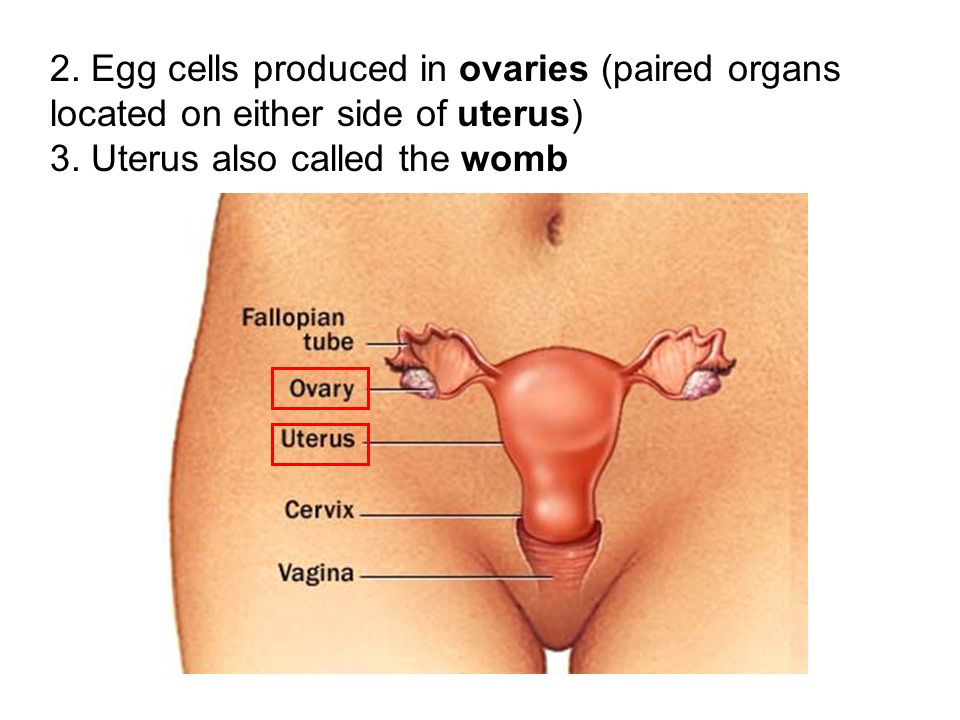 2. Egg cells produced in ovaries (paired organs located on either side of uterus)