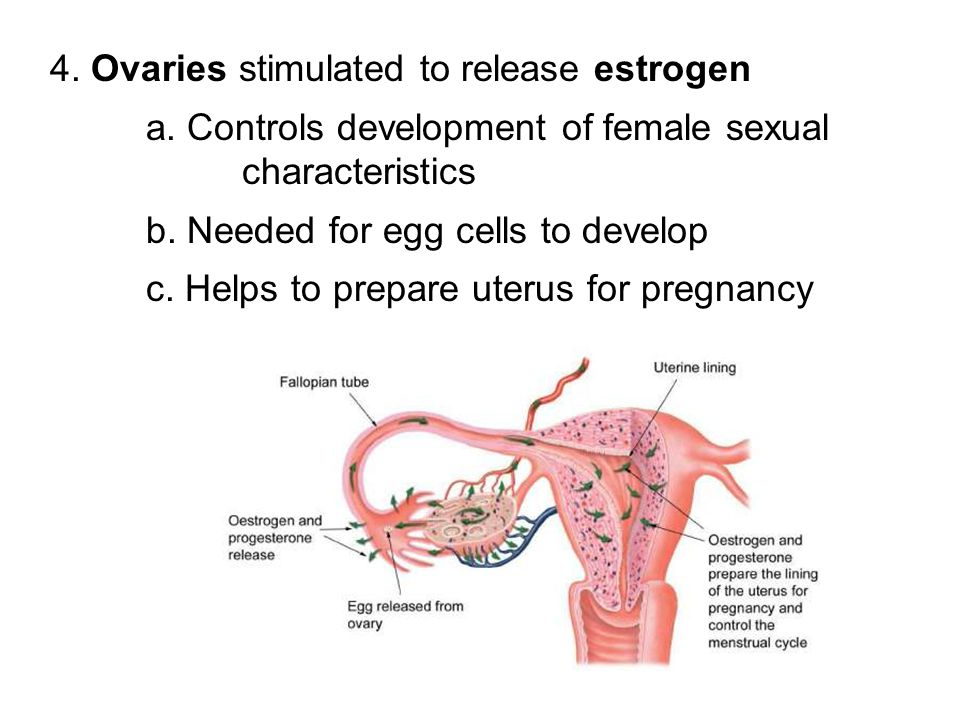4. Ovaries stimulated to release estrogen