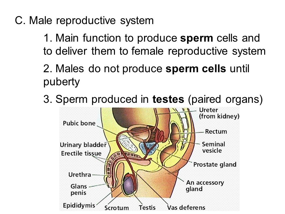 C. Male reproductive system