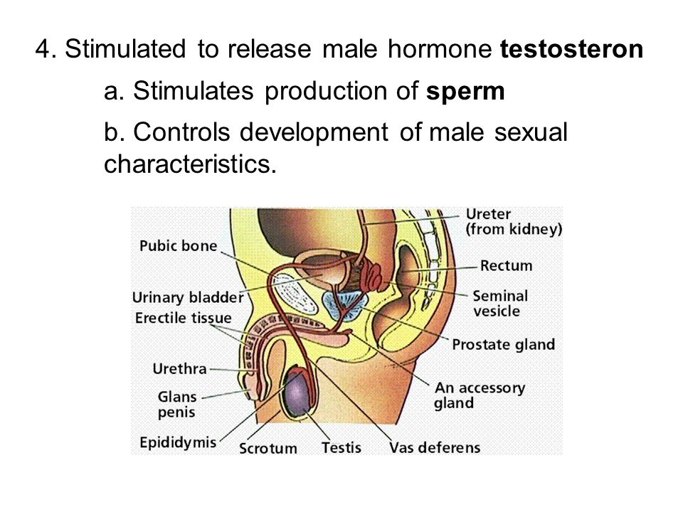 4. Stimulated to release male hormone testosteron