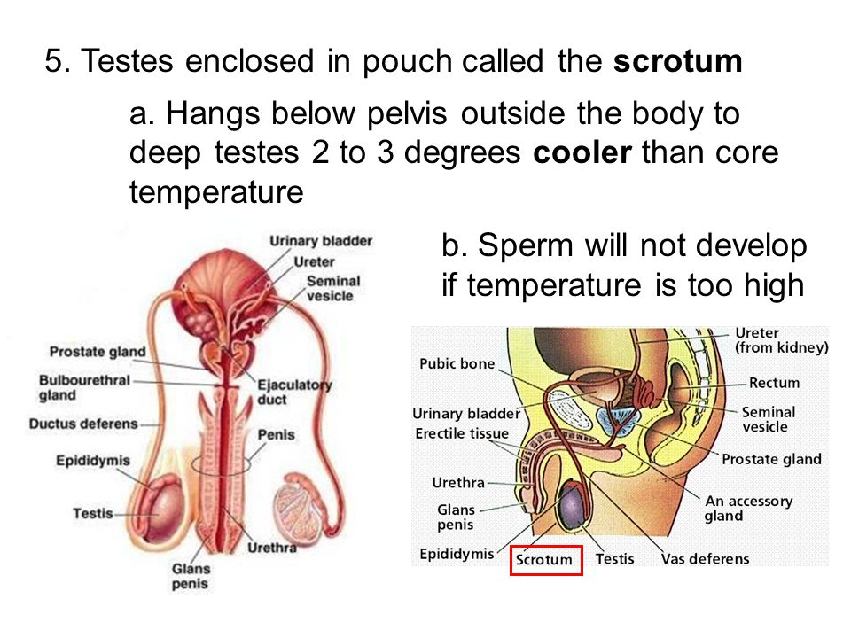 5. Testes enclosed in pouch called the scrotum