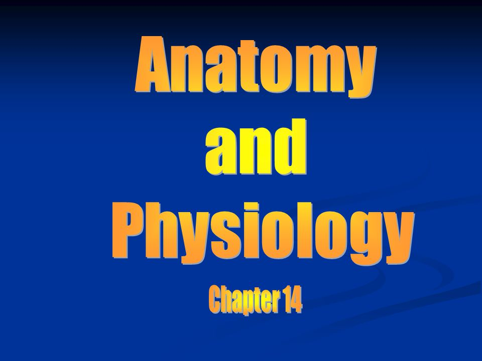 Anatomy and Physiology Chapter 14