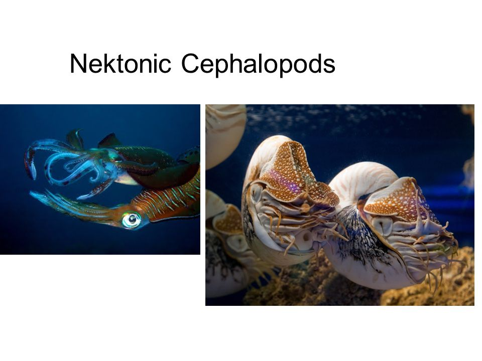 Nektonic Cephalopods Nektonic Cephalopods