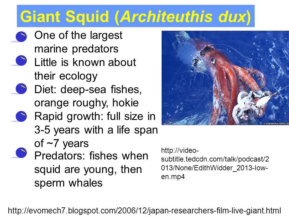 Giant Squid (Architeuthis dux)