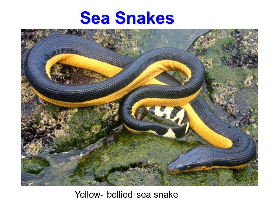 Sea Snakes Yellow- bellied sea snake Sea Snakes