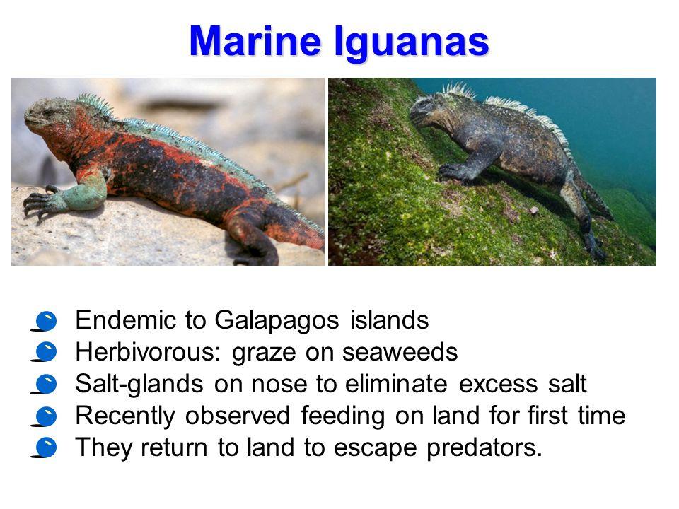 Marine Iguanas Endemic to Galapagos islands