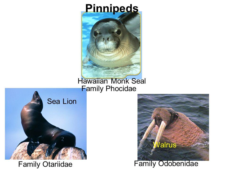 Pinnipeds Hawaiian Monk Seal Family Phocidae Sea Lion Walrus
