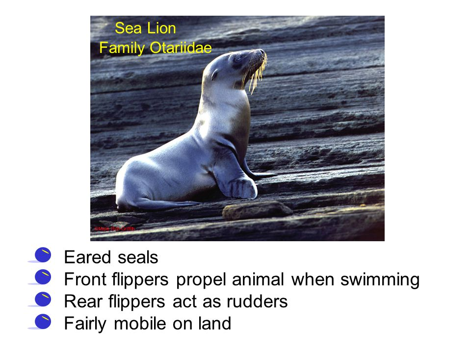Front flippers propel animal when swimming