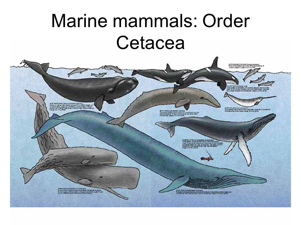 Marine mammals: Order Cetacea