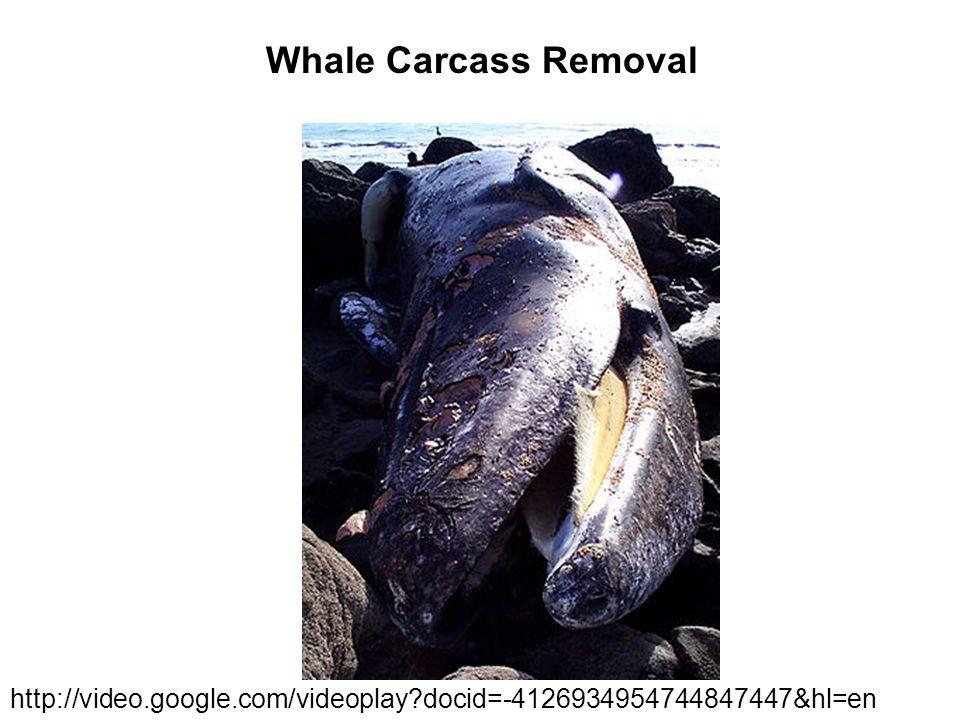 Whale Carcass Removal