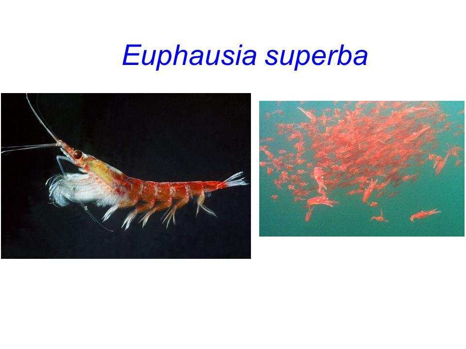 Euphausia superba Euphausia superba