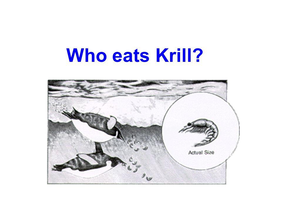 Who eats Krill