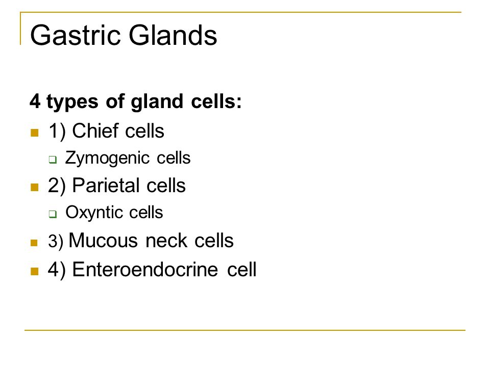 Gastric Glands 4 types of gland cells: 1) Chief cells
