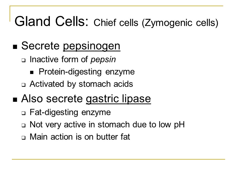 Gland Cells: Chief cells (Zymogenic cells)