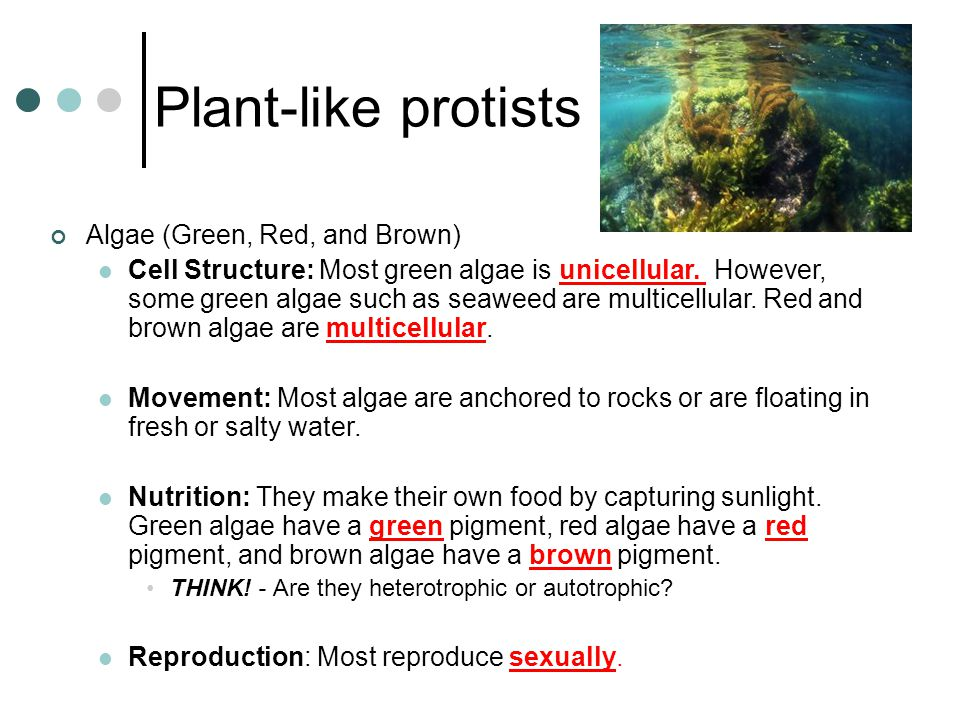 Plant-like protists Algae (Green, Red, and Brown)