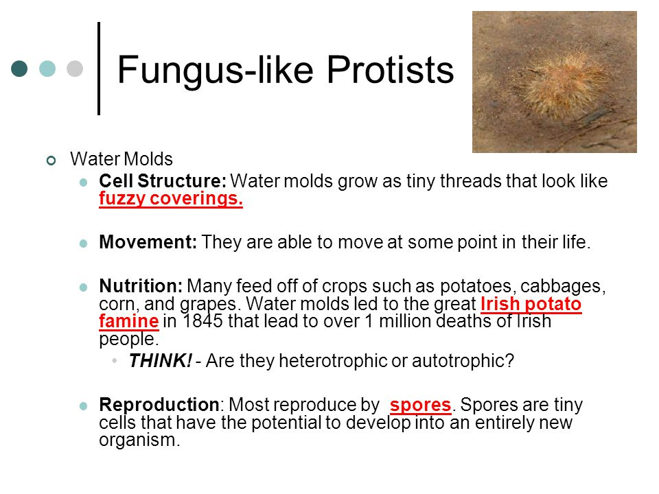 Fungus-like Protists Water Molds
