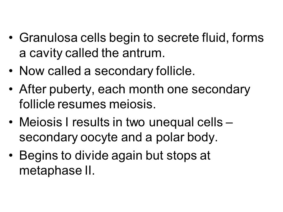Granulosa cells begin to secrete fluid, forms a cavity called the antrum.