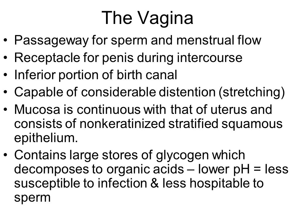 The Vagina Passageway for sperm and menstrual flow
