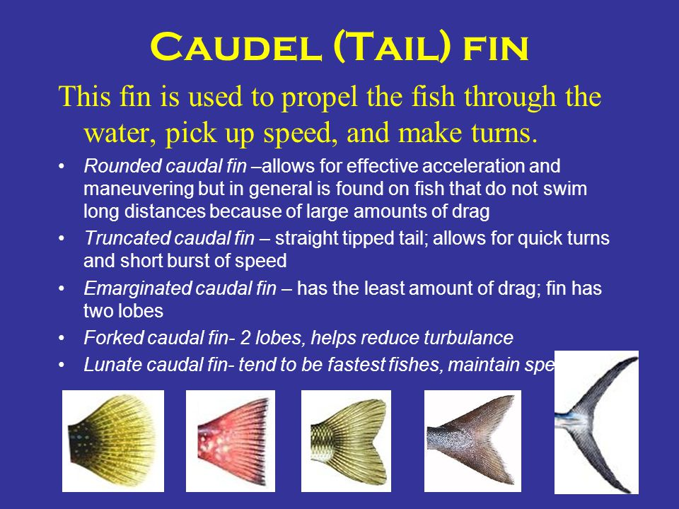 Caudel (Tail) fin This fin is used to propel the fish through the water, pick up speed, and make turns.