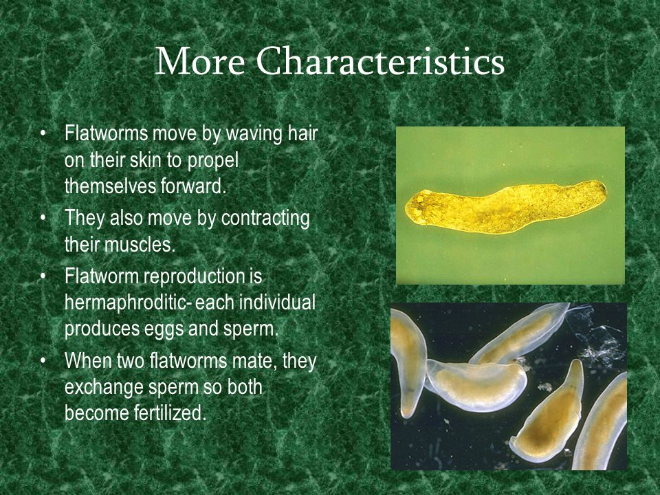 More Characteristics Flatworms move by waving hair on their skin to propel themselves forward. They also move by contracting their muscles.
