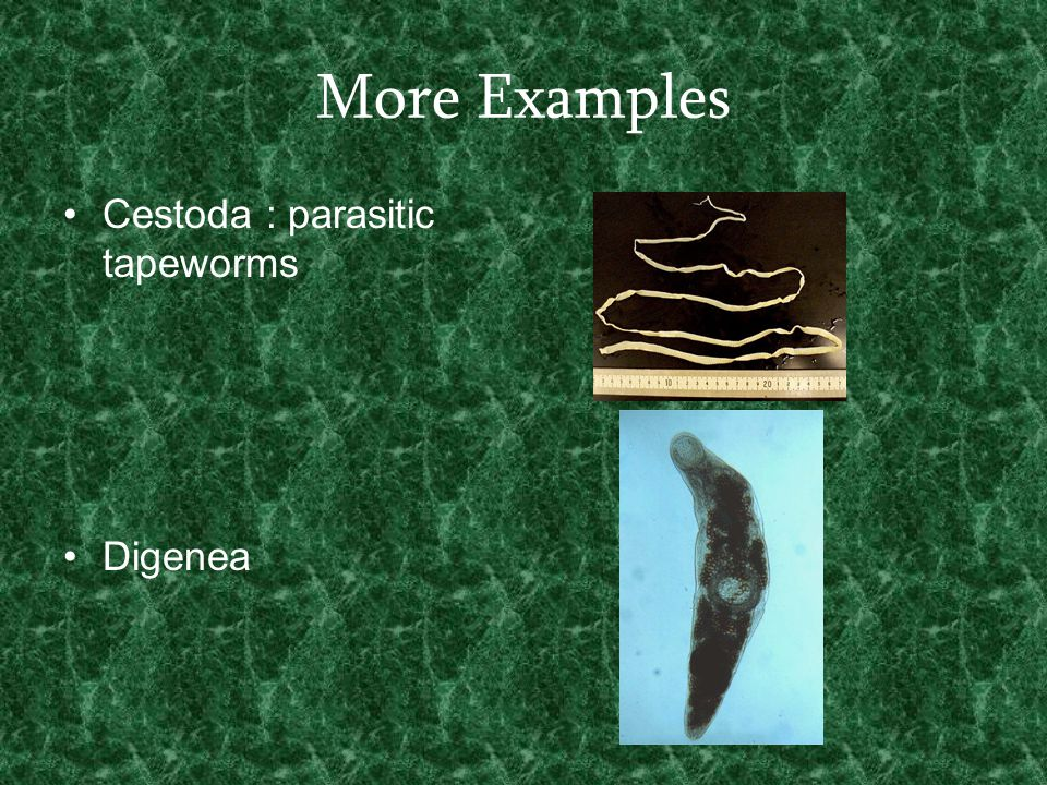 More Examples Cestoda : parasitic tapeworms Digenea