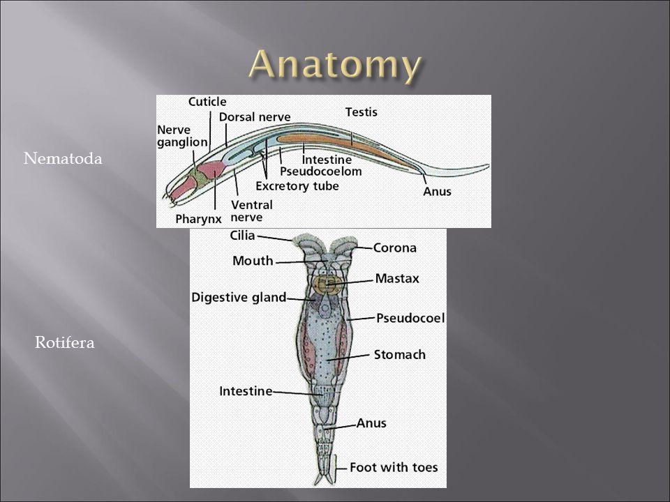 Anatomy Nematoda Rotifera
