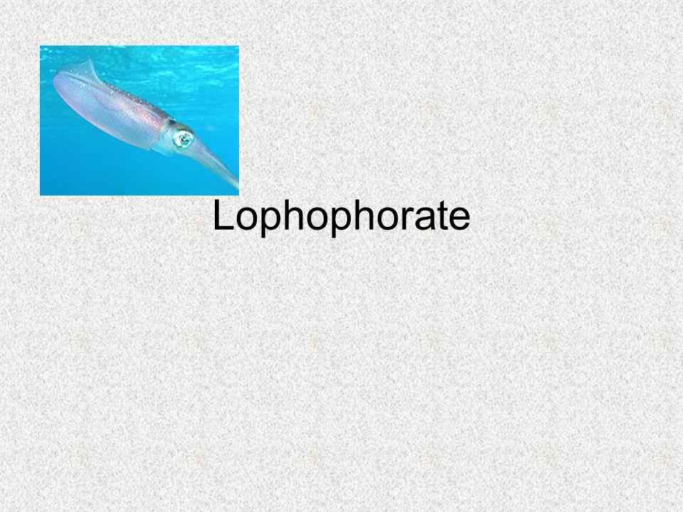 Lophophorate