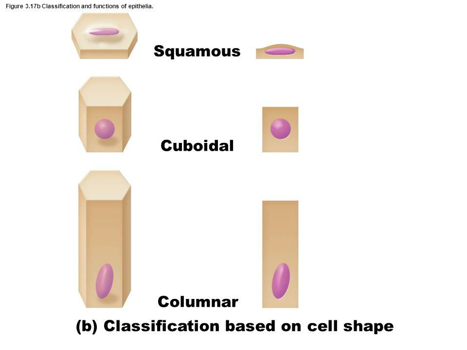 Figure 3.17b Classification and functions of epithelia.
