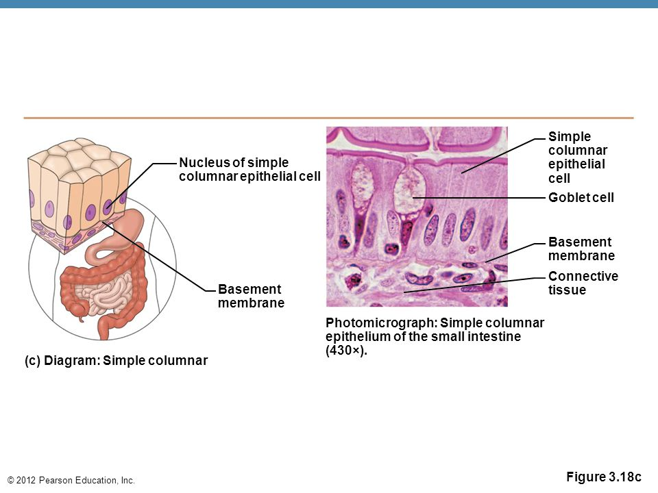 Simple columnar. epithelial. cell. Nucleus of simple. columnar epithelial cell. Goblet cell. Basement.