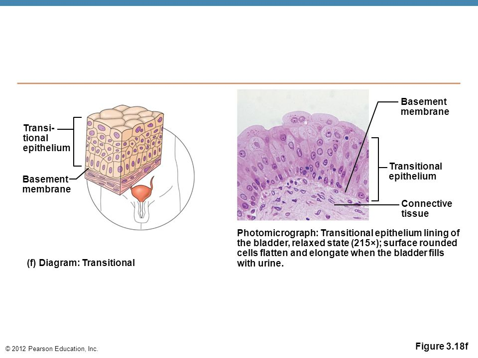 Basement membrane. Transi- tional. epithelium. Transitional. epithelium. Basement. membrane.