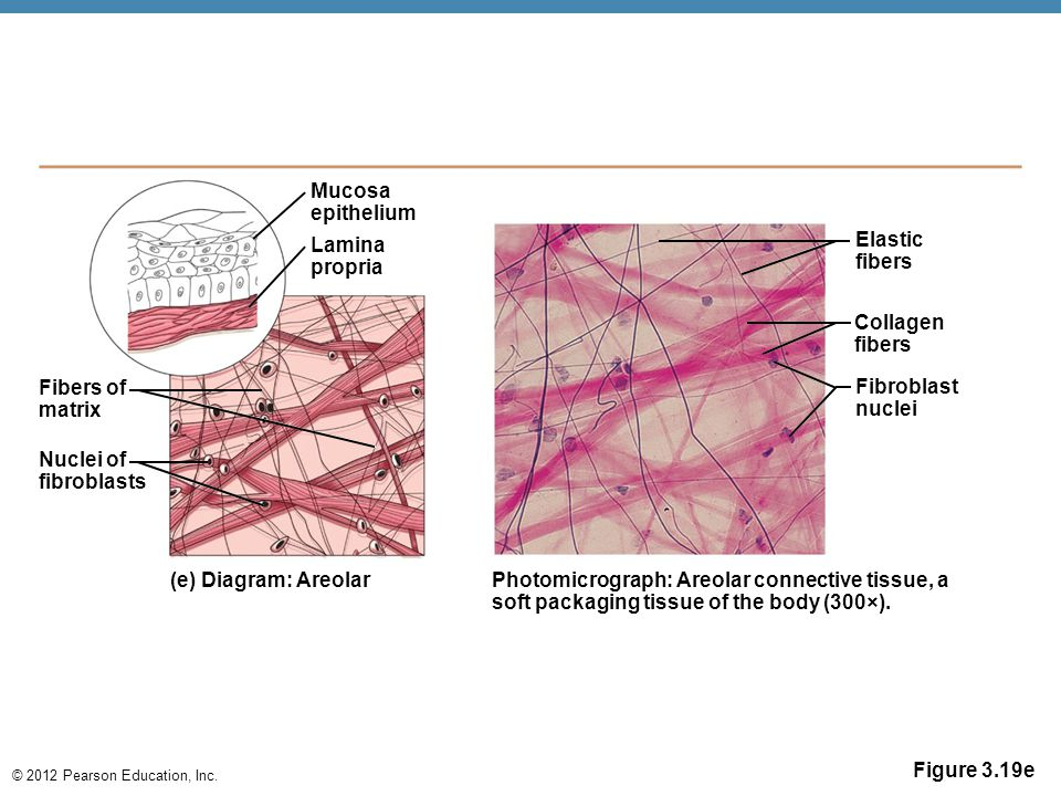 Mucosa epithelium. Lamina. propria. Elastic. fibers. Collagen. fibers. Fibers of. matrix. Fibroblast.