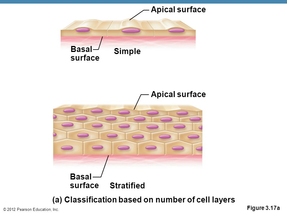 (a) Classification based on number of cell layers