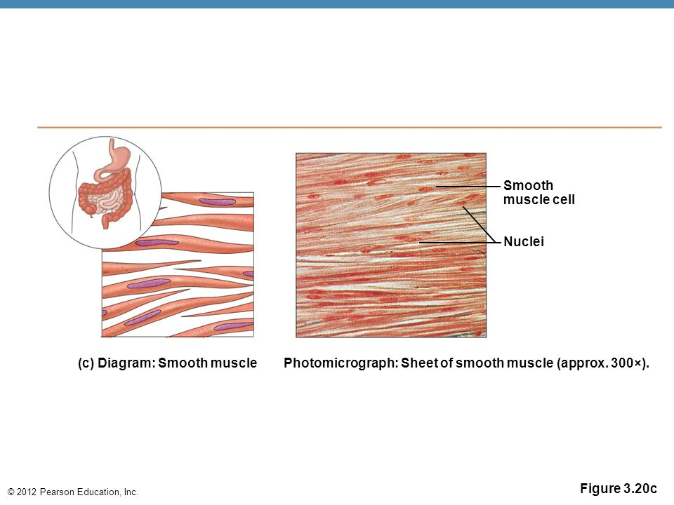 Smooth muscle cell. Nuclei. (c) Diagram: Smooth muscle. Photomicrograph: Sheet of smooth muscle (approx. 300×).